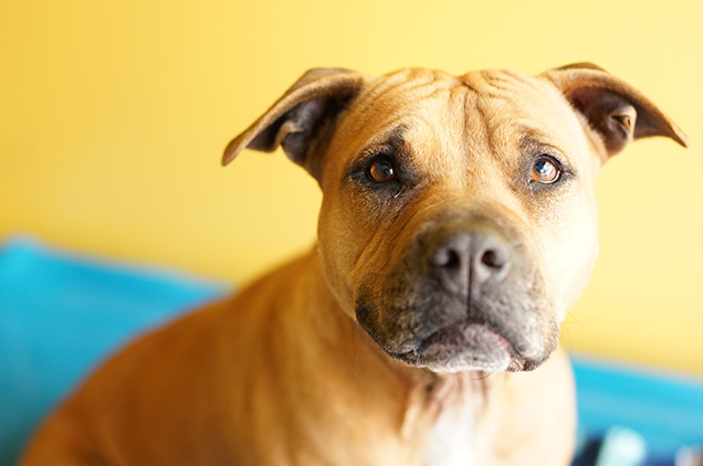 dog fighting dogs get second chance and adopted