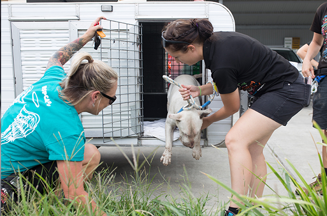 Bull Terrier arriving at RSPCA Queensland after rescue