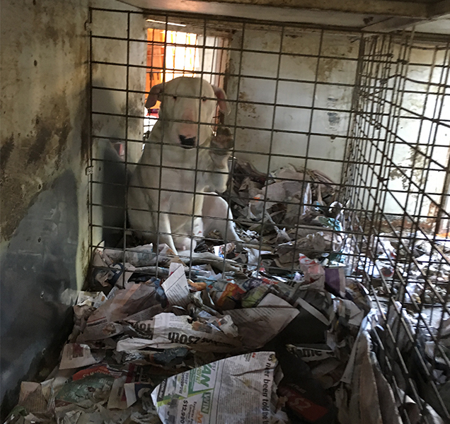 Bull Terrier in poor living conditions