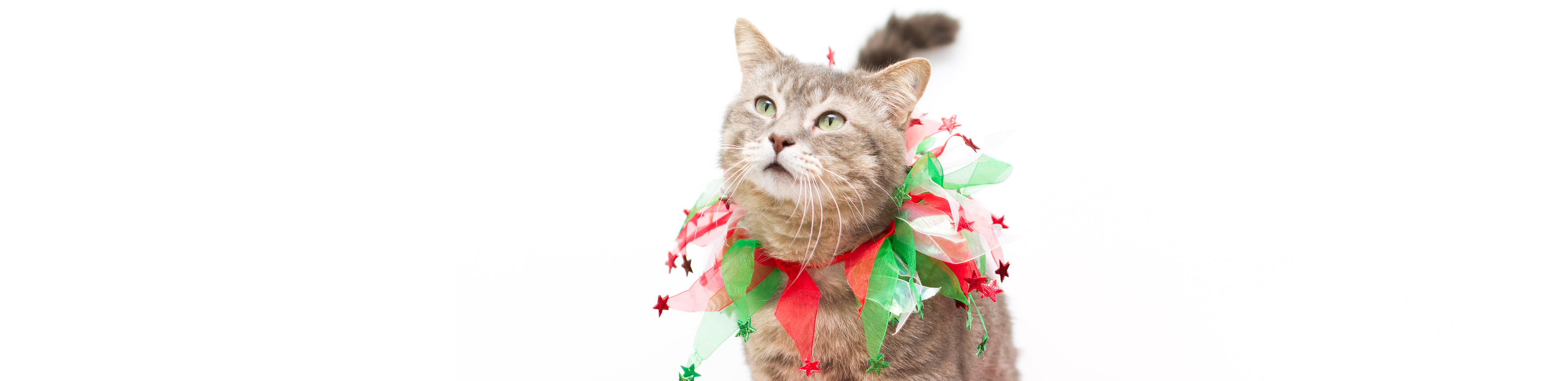 Cat with a christmas decorated collar promotes buying Christmas presents for pets blog