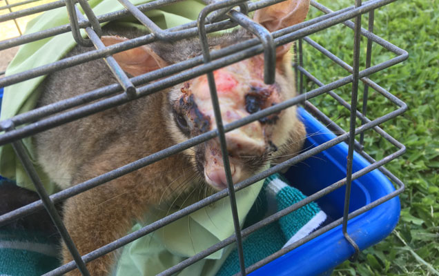 dermatitis can be deadly for brushtail possums