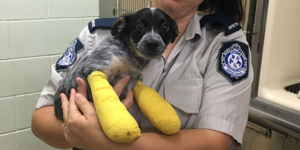 Digit puppy cruelty case rspca queensland after surgery