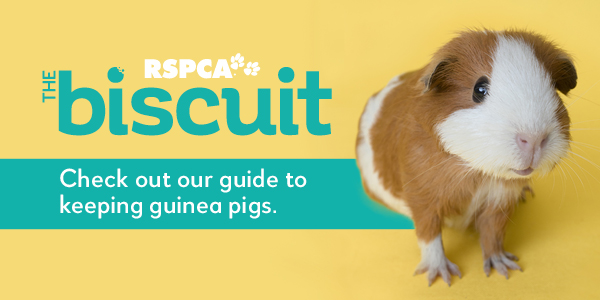 read all about caring for guinea pigs in RSPCA magazine